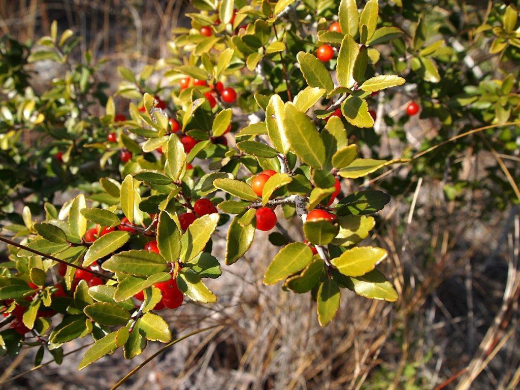 Liście oraz owoce ostrokrzewu yaupon, z którego rdzenna ludność produkowała pobudzające napary fot. Luteus (opublikowano na licencji CC BY-SA 3.0 via Wikimedia Commons)